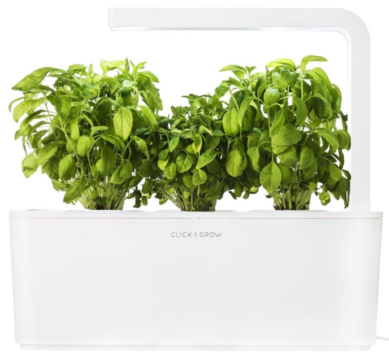grow basil at home